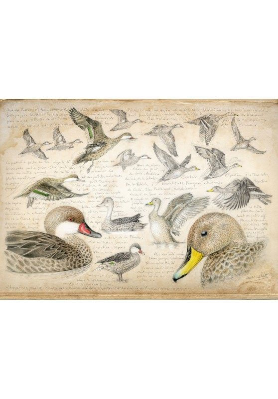 Marcello-art: Wish Card 234 - White-cheeked pintail & Yellow-billed Pintail