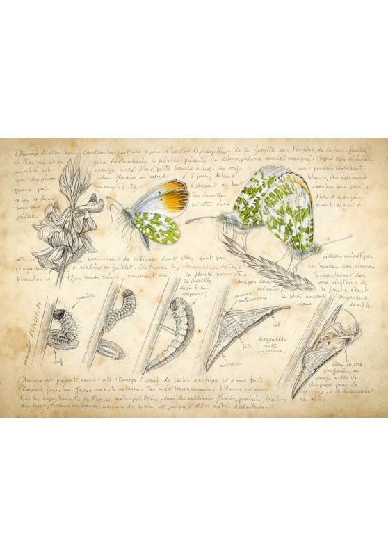 Marcello-art : Cartes de faire part 394 - Aurore Anthocharis cardamines