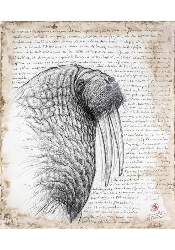 Marcello-art : Cartes de faire part 405 - Morse (Odobenus rosmarus)