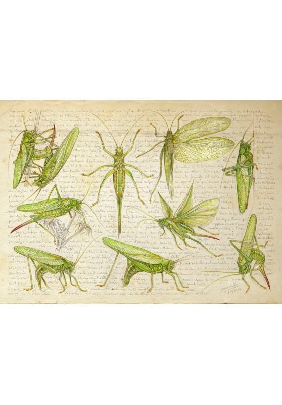 Marcello-art : Cartes de faire part 419 - Tettigonia viridissima