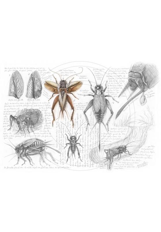 Marcello-art: Entomology 420 - Gryllus campestris