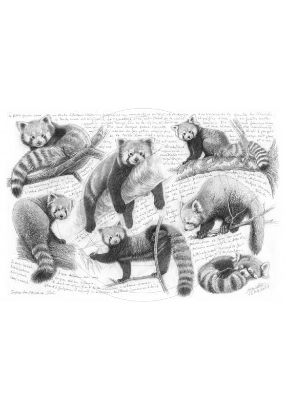 Marcello-art : Faune zones tempérées 423 - Panda roux