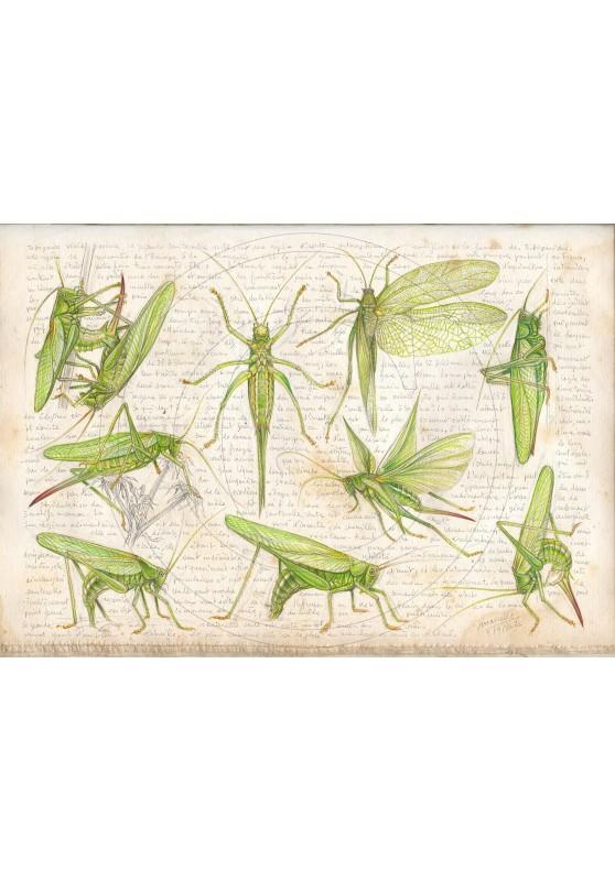 Marcello-art : Entomologie 419 - Tettigonia viridissima