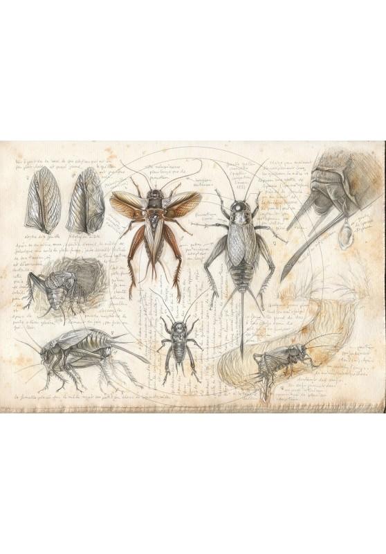 Marcello-art : Entomologie 420 - Grillon champêtre