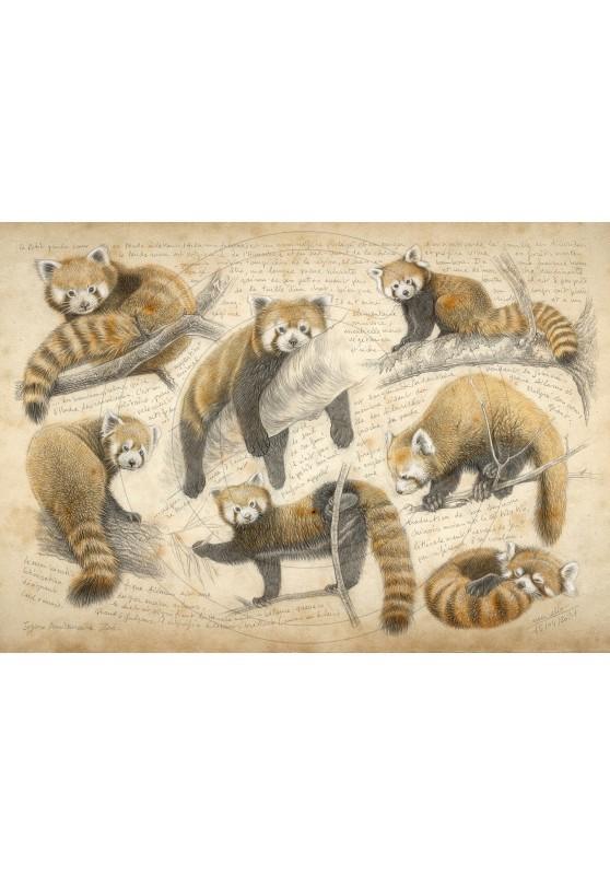 Marcello-art : Sur papier 423 - Panda roux
