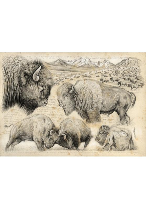 Marcello-art : Cartes de faire part 390 - Tatanka, bison d'Amérique