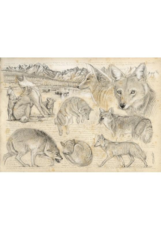 Marcello-art : Cartes de faire part 391 - Coyote d'Amérique du nord