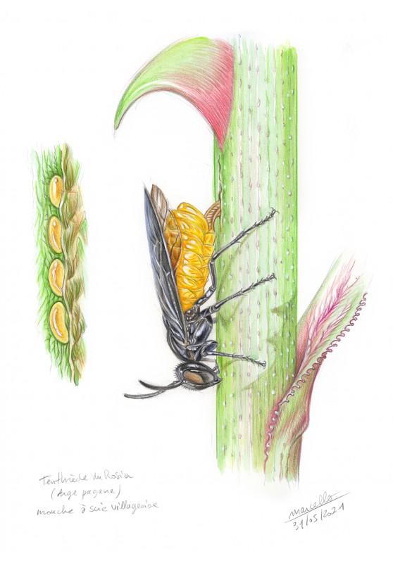 Marcello-art: Wish Card 427 - Rose Moth (Arge pagana)