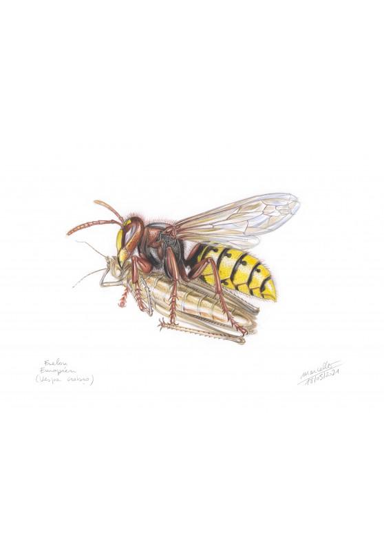Marcello-art: Wish Card 433 - European hornet (Vespa crabro)