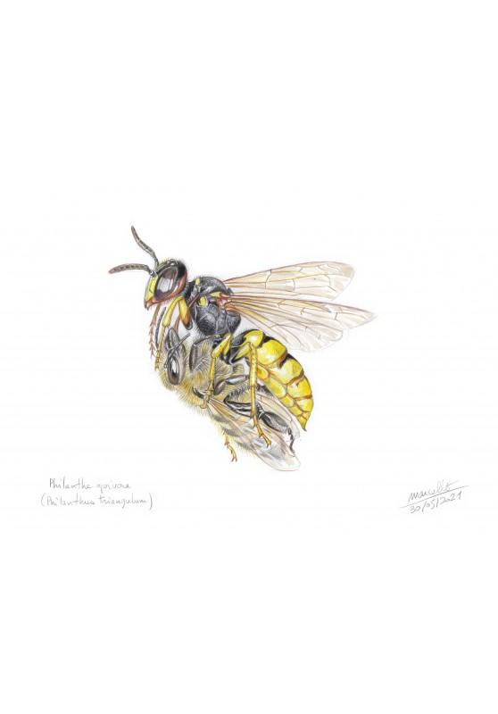 Marcello-art : Cartes de faire part 436 - Philanthe apivore (Philanthus triangulum)