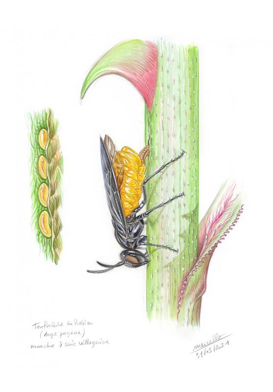 Marcello-art : Entomologie 427 - Tenthrède du rosier (Arge pagana)