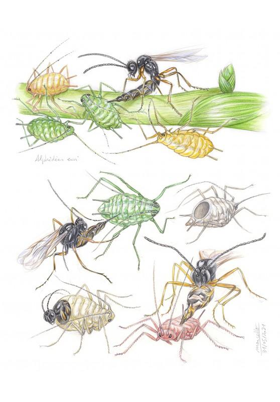Marcello-art : Entomologie 429 - Aphidius ervi