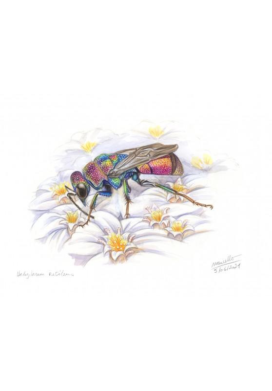 Marcello-art : Entomologie 430 - Hedychrum rutilans