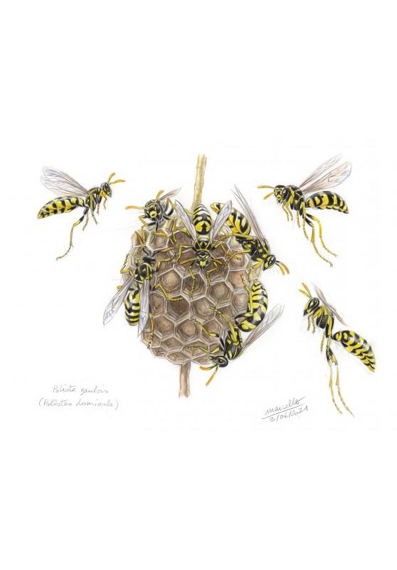 Marcello-art : Entomologie 431 - Poliste gaulois (Polistes dominula)