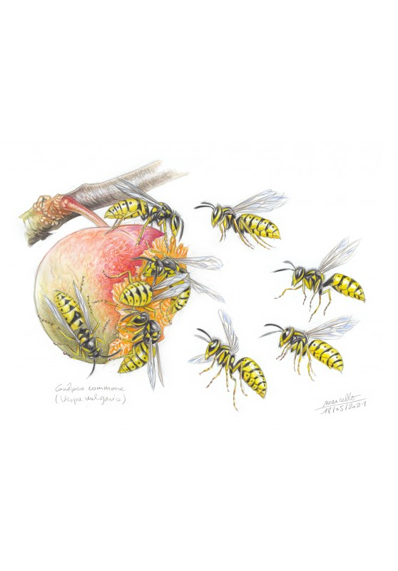 Marcello-art : Entomologie 432 - Guêpe commune (Vespa vulgaris)