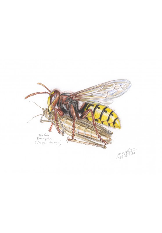 Marcello-art : Entomologie 433 - Frelon européen (Vespa crabro)
