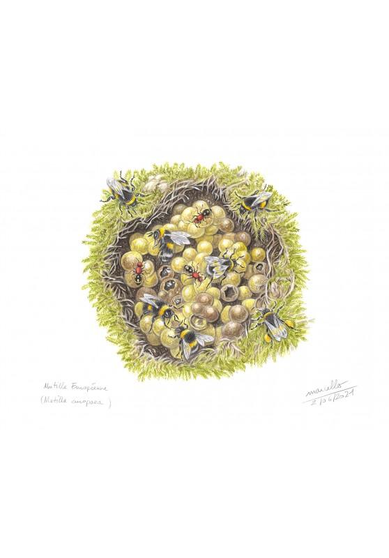 Marcello-art : Entomologie 434 - Mutille Européenne (Mutilla europaea)