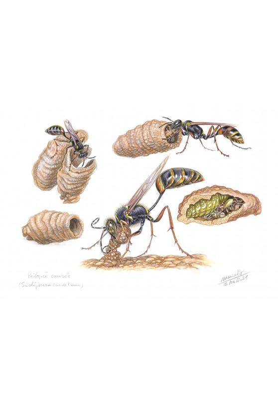 Marcello-art : Entomologie 435 - Pélopée courbée (Sceliphron curvatum)