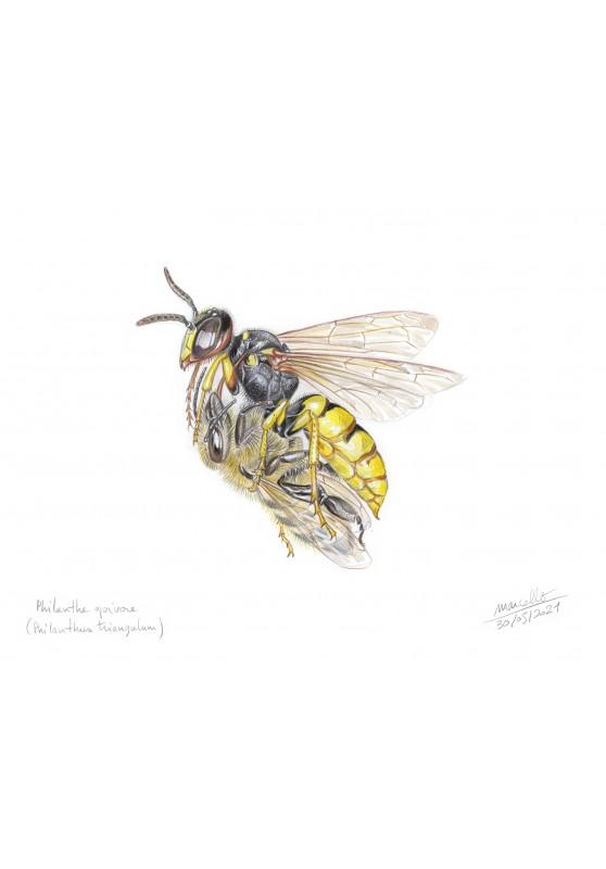 Marcello-art : Entomologie 436 - Philanthe apivore (Philanthus triangulum)