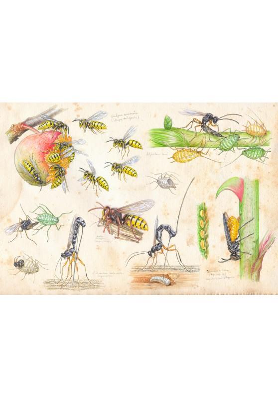 Marcello-art : Entomologie 425 - Étude 5 guêpes