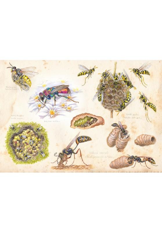 Marcello-art : Entomologie 426 - Étude 5 guêpes