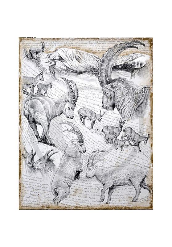 Marcello-art : Cartes de faire part 348 - Bouquetin des Alpes