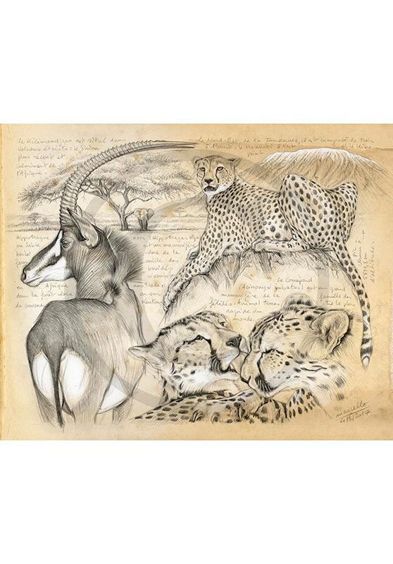 Marcello-art : Cartes de faire part 363 - Guépards et antilope sable