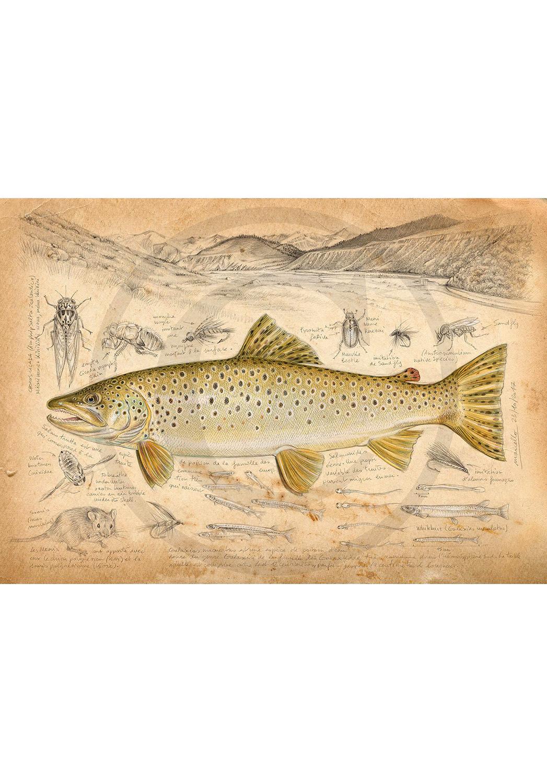 Marcello-art: Wish Card 372 - New Zealand Trout Fario