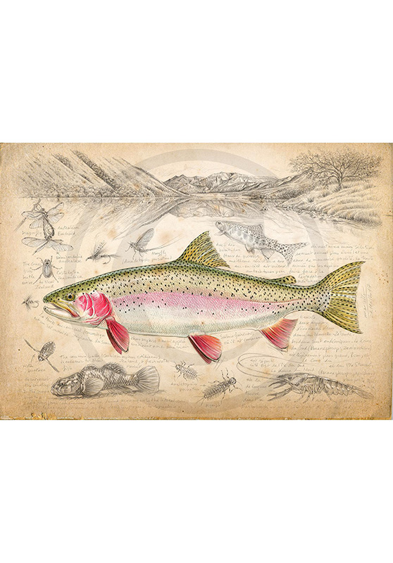 Marcello-art: Wish Card 373 - New Zealand rainbow trout