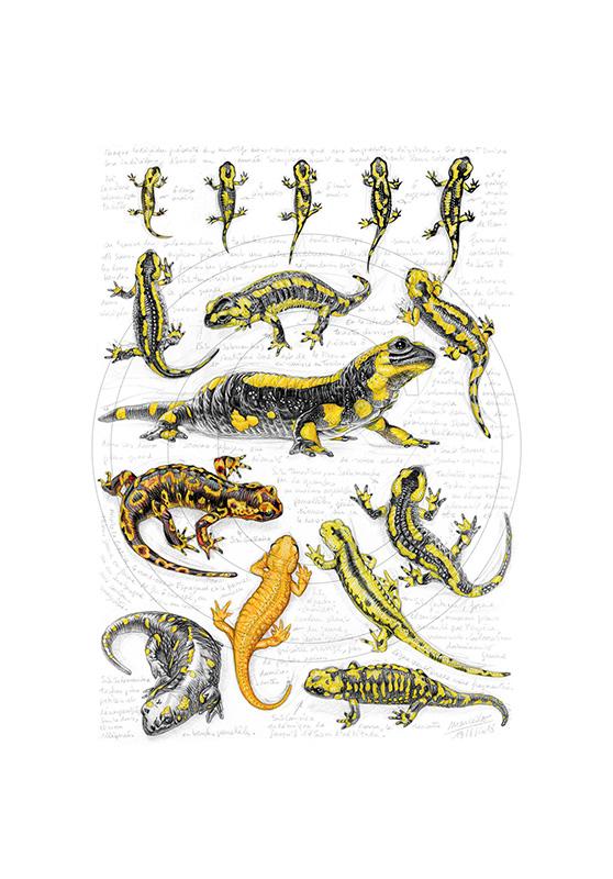 Marcello-art : Cartes de faire part 383 - Sous espèces salamandres